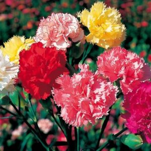 Dianthus-chabaud-1